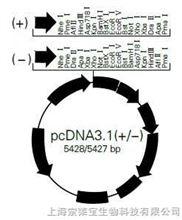 pcDNA3.1 (+/-)
